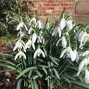 Snowbells in the Grafton Gardens